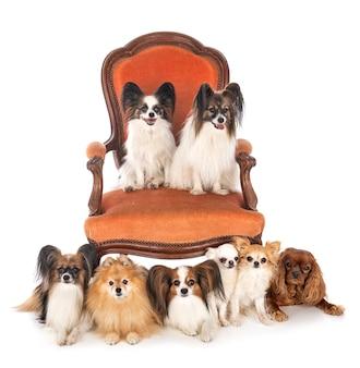 의자에 많은 작은 귀여운 개