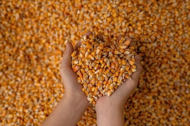 たくさんの散らばったトウモロコシの穀粒、一握りのトウモロコシを握っている手。