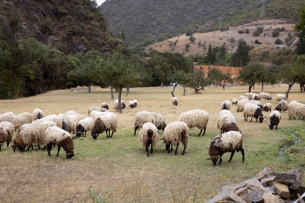 日光の下で草を食べる羊がたくさん