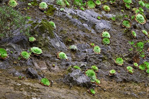 マデイラポルトガルで育つ多肉植物の多く