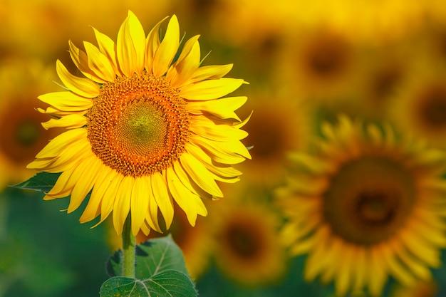 화창한 날에 태양 꽃을 많이