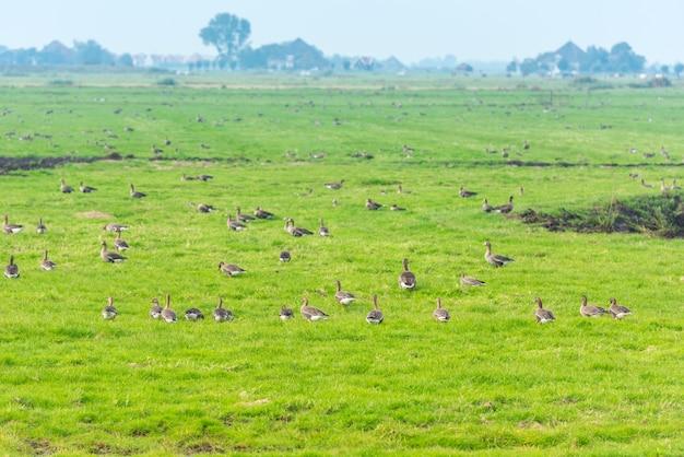 Много диких гусей в поисках еды на лугу в нидерландах