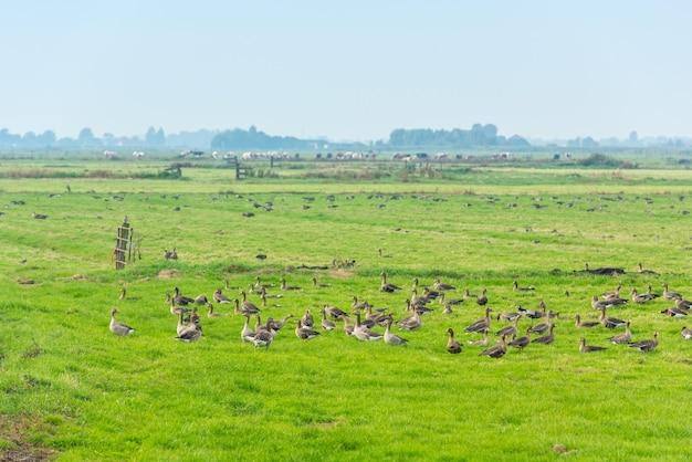 네덜란드의 초원에서 먹이를 찾는 많은 야생 기러기들