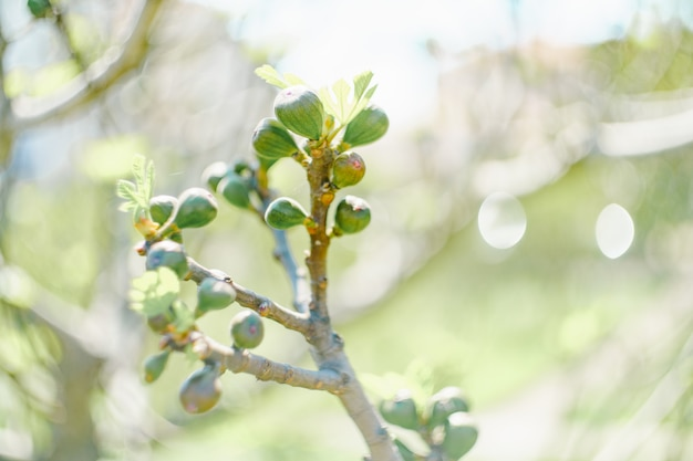 봄 나무 꽃이 만발한 잎에 많은 어린 무화과