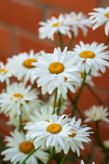 Lots of white daisy flowers growing near a brick wall