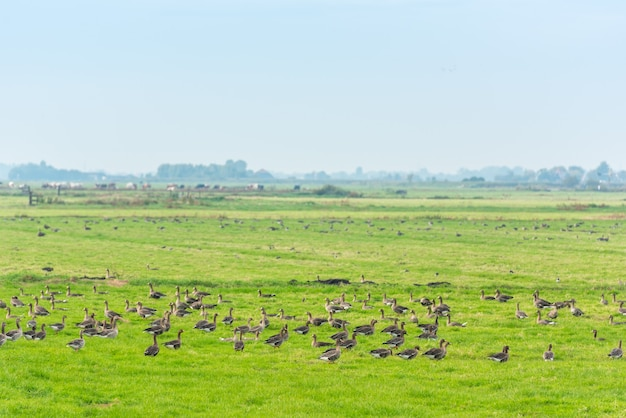 Lots of wild geese searching food on the meadow in netherlands