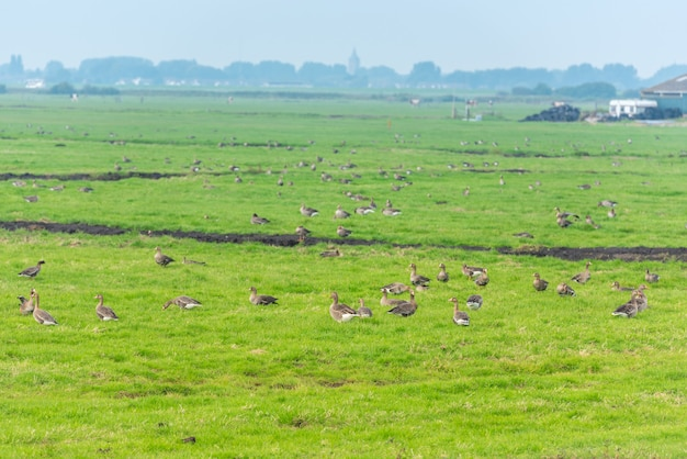 Lots of wild geese searching food on the meadow