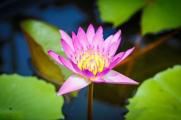 Lotus bloom pink evening