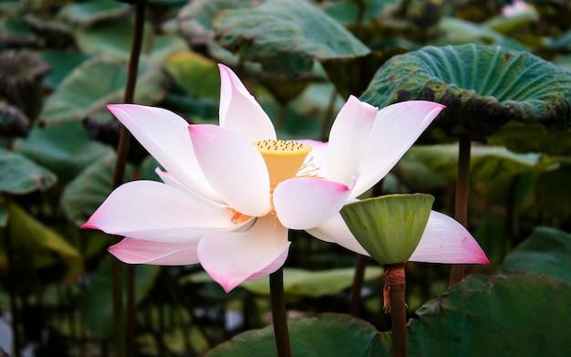 연꽃과 연꽃 식물