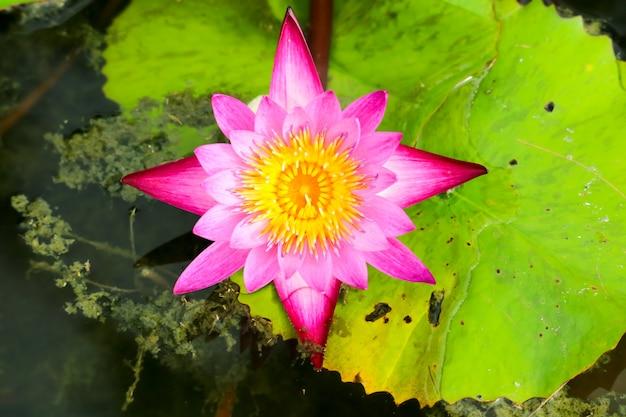 沼の表面に咲く蓮の花