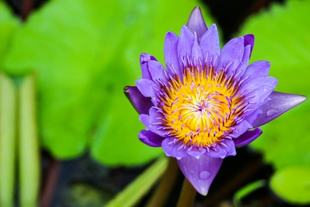Lotus flower bouquet blooming on the surface in the swamp