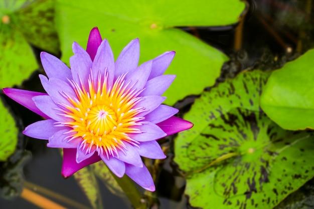 沼の表面に蓮の花の花束