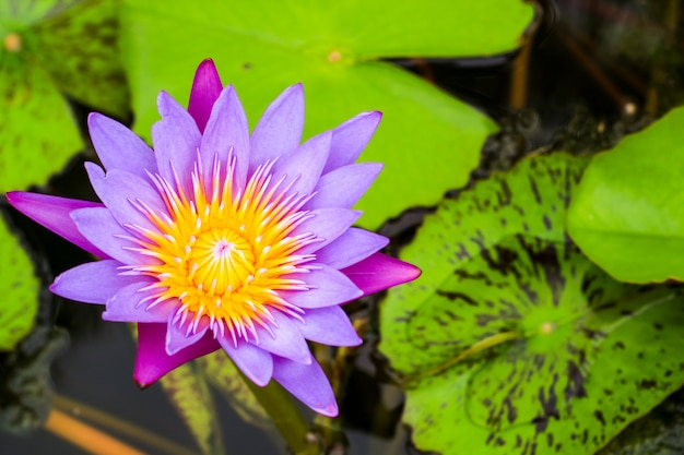 Lotus flower bouquet on the surface in the swamp