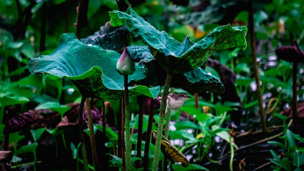 A lotus flower bud and plant