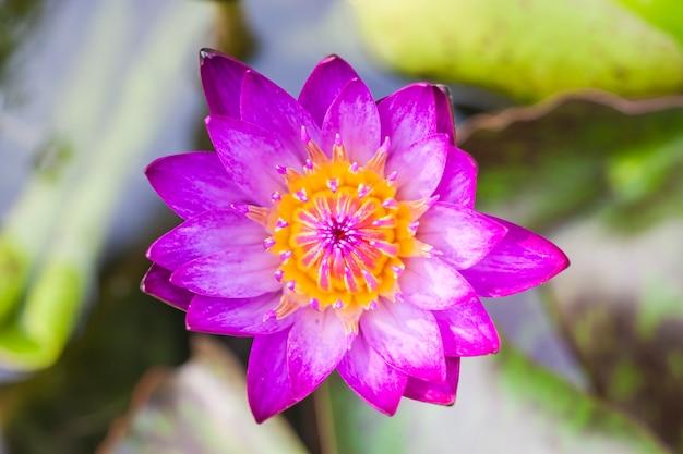 プールの蓮の花