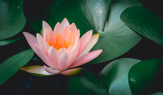 Lotus flower is complemented by the rich colors of the deep blue water surface.