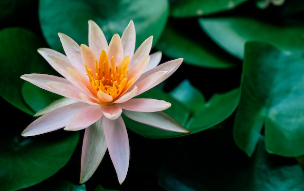 Lotus flower is complimented by the rich colors of the deep blue water surface