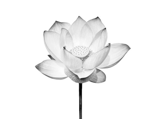 Цветок лотоса, изолированные на белом фоне. файл содержит обтравочный контур, поэтому легко работать.