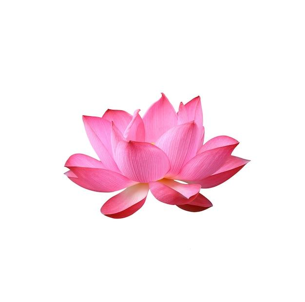 白い背景で隔離の蓮の花。