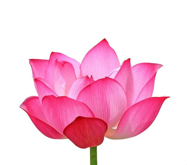 Цветок лотоса, изолированные на белом фоне.