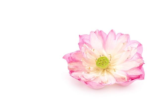 Lotus flower isolated.