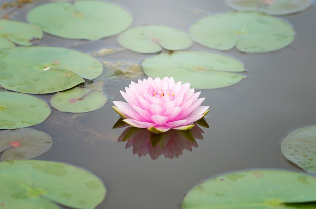池の蓮の花