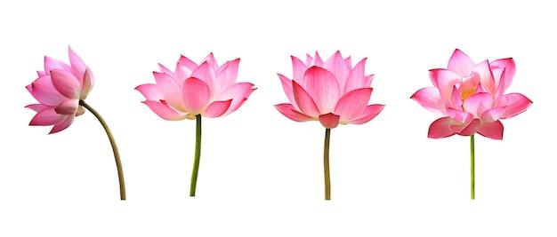 白い背景の上の蓮の花。