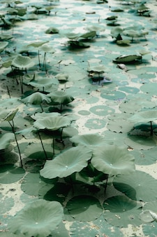Lotus flower plants and lotus flower in pond, the symbol of the buddha, thailand.