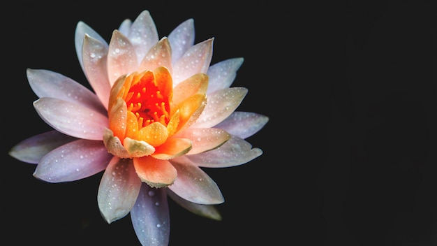 Lotus flower in pond. with black color