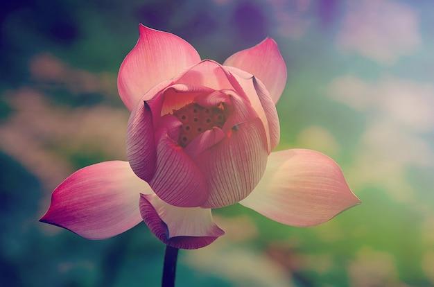 Lotus flower in vintage