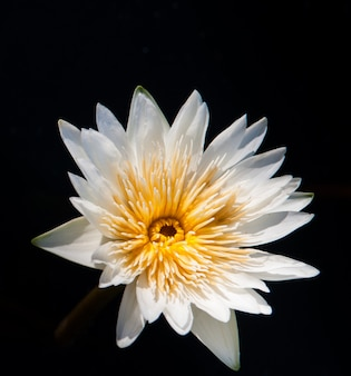 Lotus flower in warm water