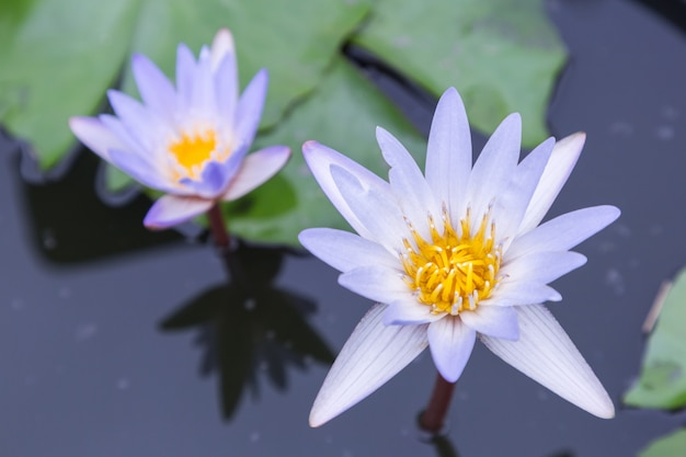 Lotus flower or water lily flower blooming in the pond. nymphaea water lily.