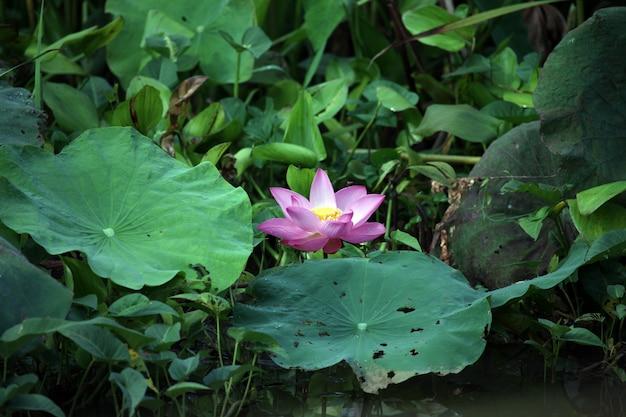 Fiore di loto Foto Gratuite