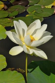 Цветы лотоса в пруду