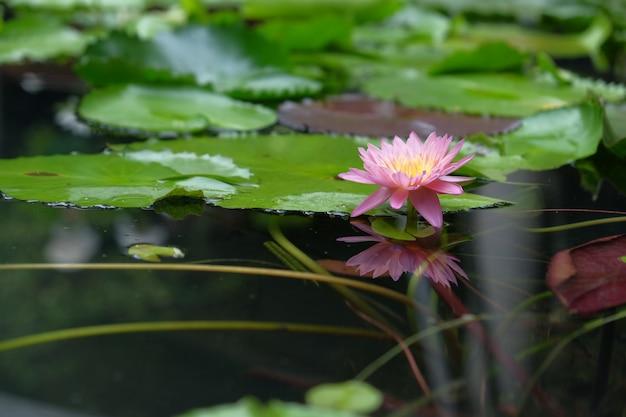 Lotus flowers in natural ponds