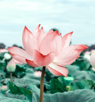 Lotus flowers in the pool. pink lotus flowers blooming in the bright morning. nature concept for background