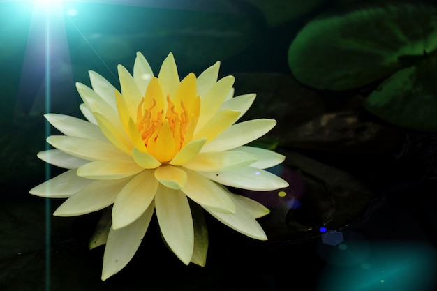 The lotus flowers in the water have blue light reflections.
