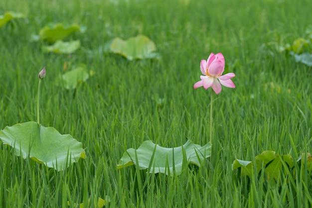 雨の日のハスと雨滴
