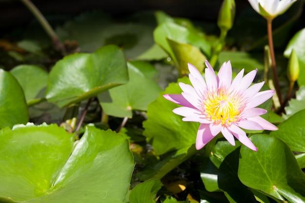蓮の中の池。庭を飾る。レジャーを探してください。