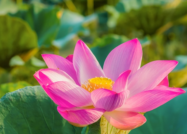 Lotus is blooming and the morning light