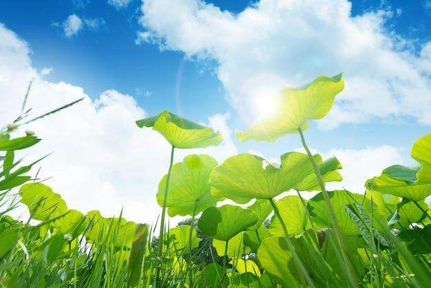 Lotus leaf against blue sky