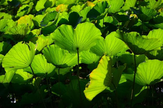 Lotus leaf for background