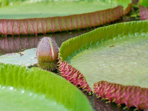 The lotus leaves victoria amazonica