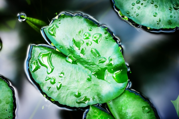 Lotus leaves with water drops