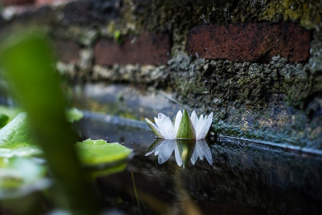 Lotus lilly flower blossom on water