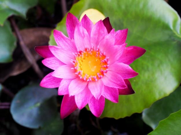ロータスまたは水っぽい花