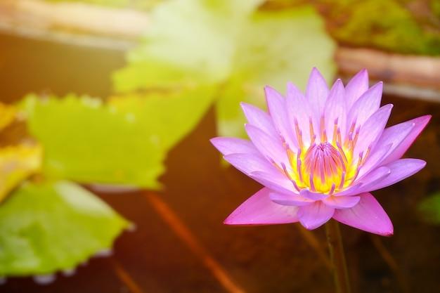 蓮の花びらと紫と黄色のおしべがお風呂にあり、スペースをコピーします。