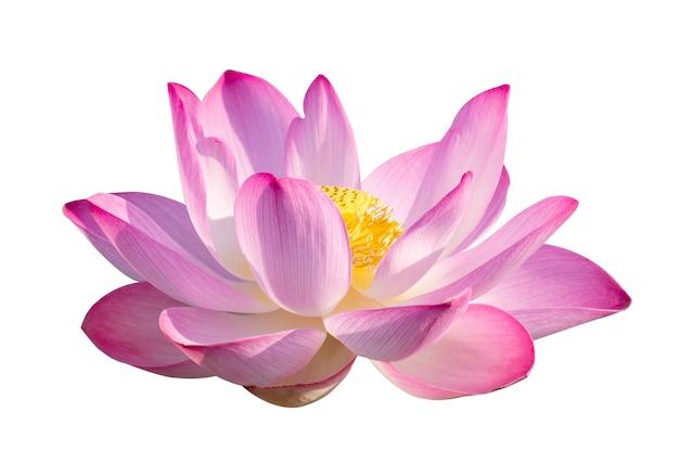 Lotus pink isolate белые цветы распускаются