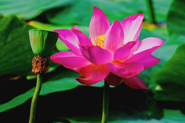 蓮、ピンクの睡蓮の花、暗い水の背景にスイレン。