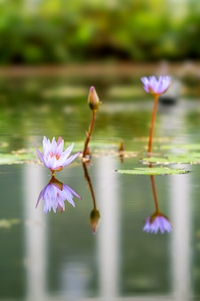 Lotus plant located in bandung, indonesia